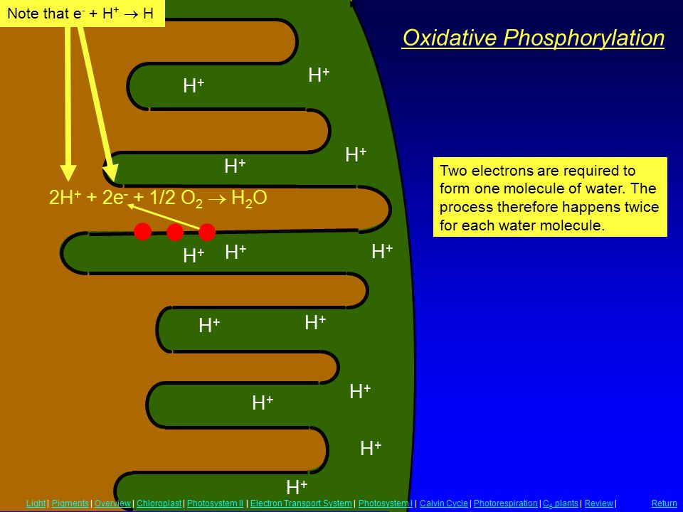 Oxidative Phosphorylation H+H+ H+H+ H+H+ H+H+ H+H+ H+H+ H+H+ H+H+ H+H+ H+H+ H+H+ H+H+ H+H+ 2H + + 2e - + 1/2 O 2  H 2 O Note that e - + H +  H Two electrons are required to form one molecule of water.
