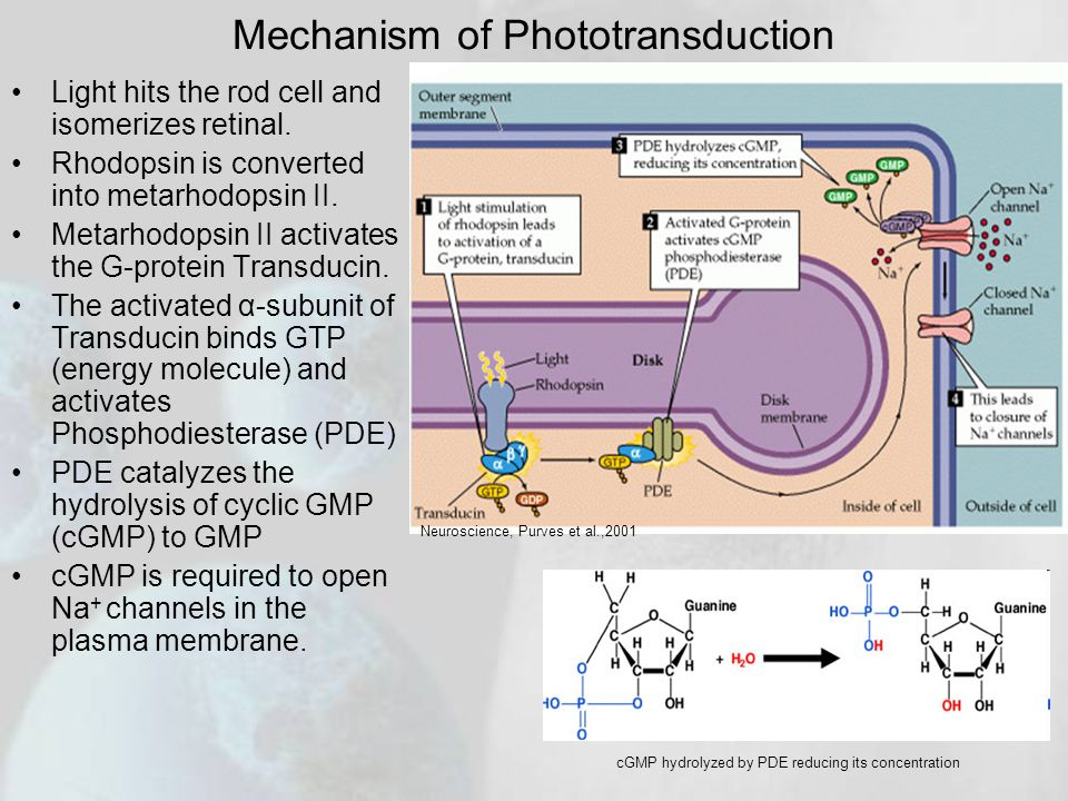 Mechanism of Phototransduction Light hits the rod cell and isomerizes retinal.