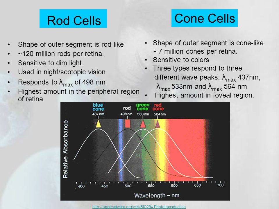 Rod Cells Shape of outer segment is rod-like ~120 million rods per retina.
