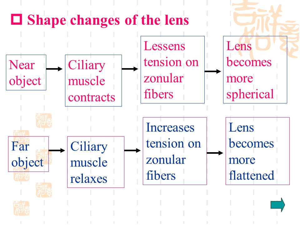 Near object Ciliary muscle contracts Lessens tension on zonular fibers Lens becomes more spherical Far object Ciliary muscle relaxes Increases tension