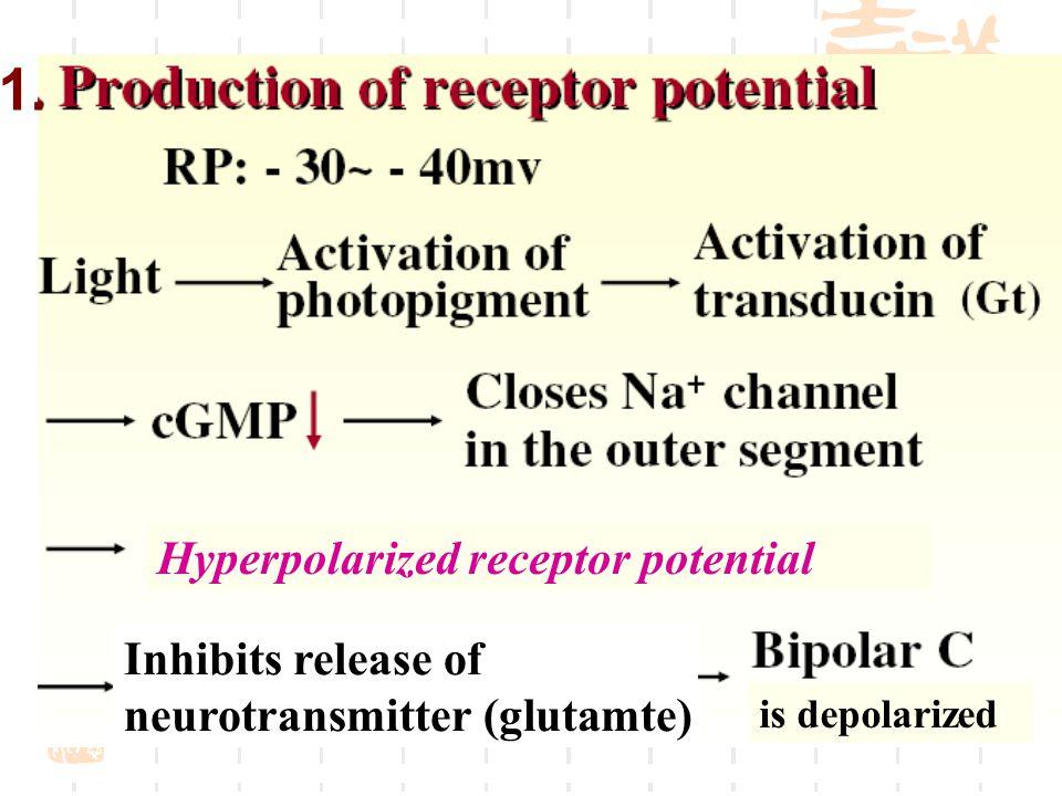 1. Inhibits release of neurotransmitter (glutamte) is depolarized Hyperpolarized receptor potential