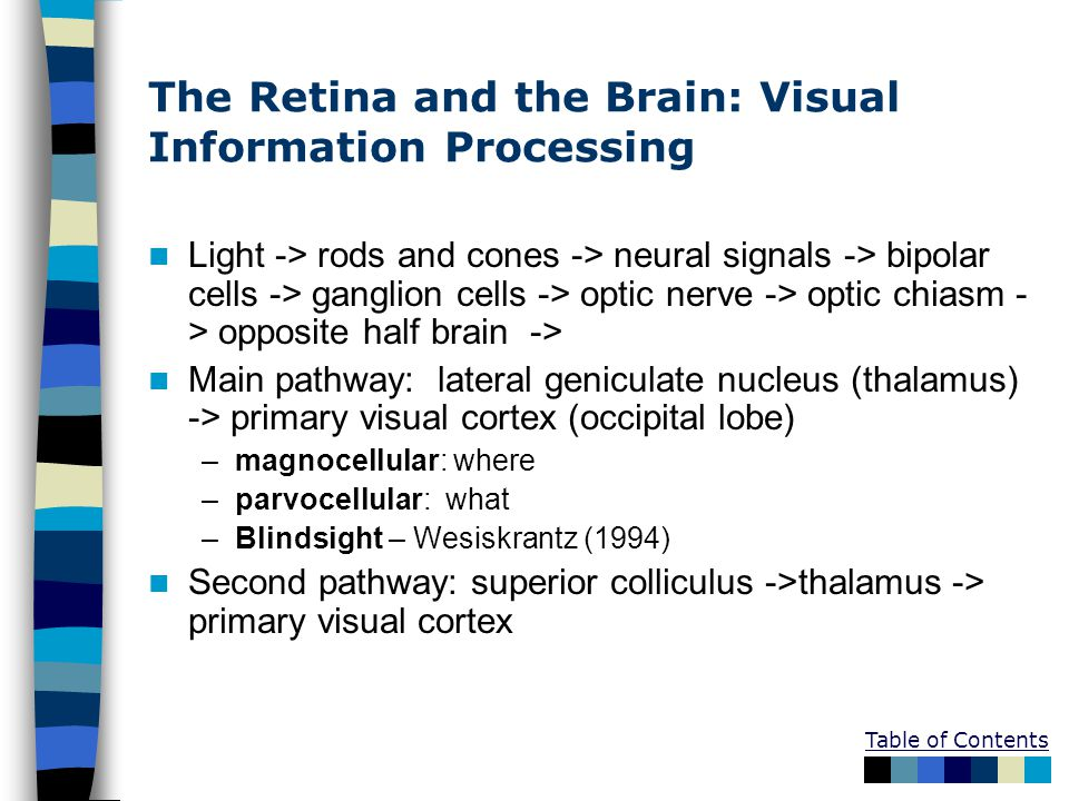 Table of Contents The Retina and the Brain: Visual Information Processing Light -> rods and cones -> neural signals -> bipolar cells -> ganglion cells