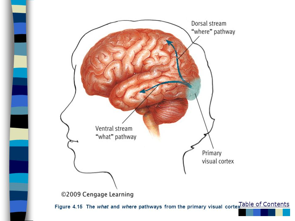 Figure 4.15 The what and where pathways from the primary visual cortex