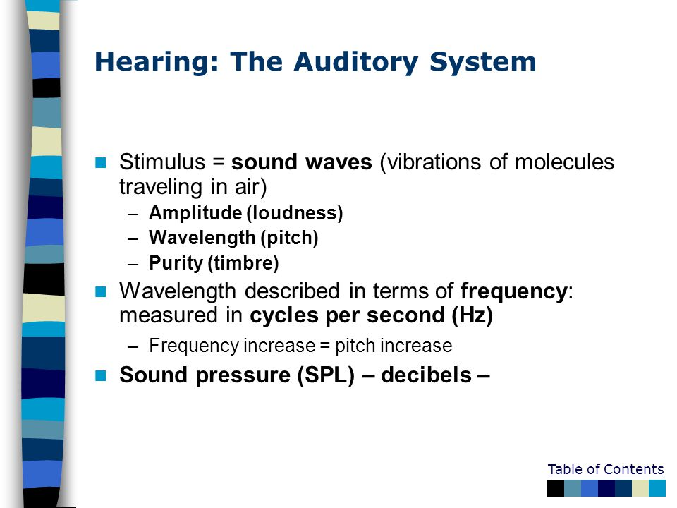 Hearing: The Auditory System Stimulus = sound waves (vibrations of molecules traveling in air) –Amplitude (loudness) –Wavelength (pitch) –Purity (timbre) Wavelength described in terms of frequency: measured in cycles per second (Hz) –Frequency increase = pitch increase Sound pressure (SPL) – decibels –