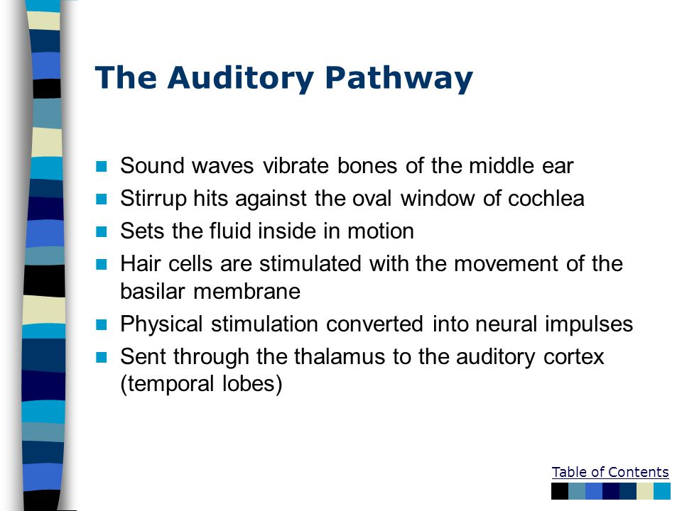 Table of Contents The Auditory Pathway Sound waves vibrate bones of the middle ear Stirrup hits against the oval window of cochlea Sets the fluid inside in motion Hair cells are stimulated with the movement of the basilar membrane Physical stimulation converted into neural impulses Sent through the thalamus to the auditory cortex (temporal lobes)