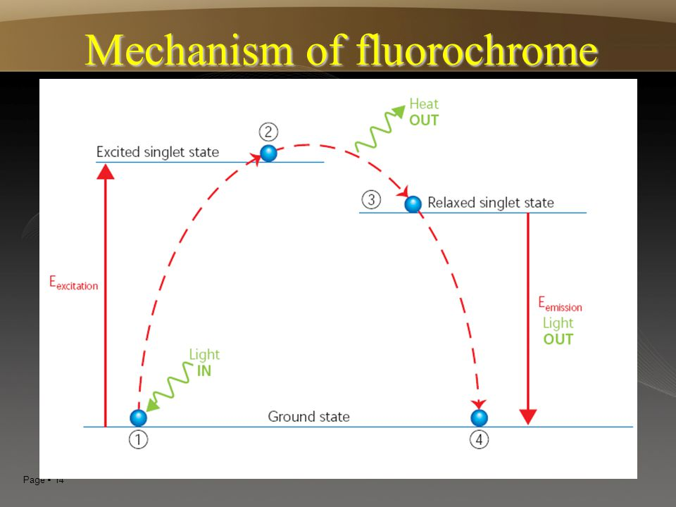Page  14 Mechanism of fluorochrome