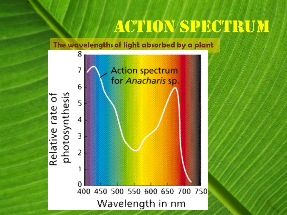 Action spectrum The wavelengths of light absorbed by a plant