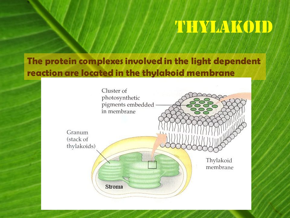 Thylakoid The protein complexes involved in the light dependent reaction are located in the thylakoid membrane