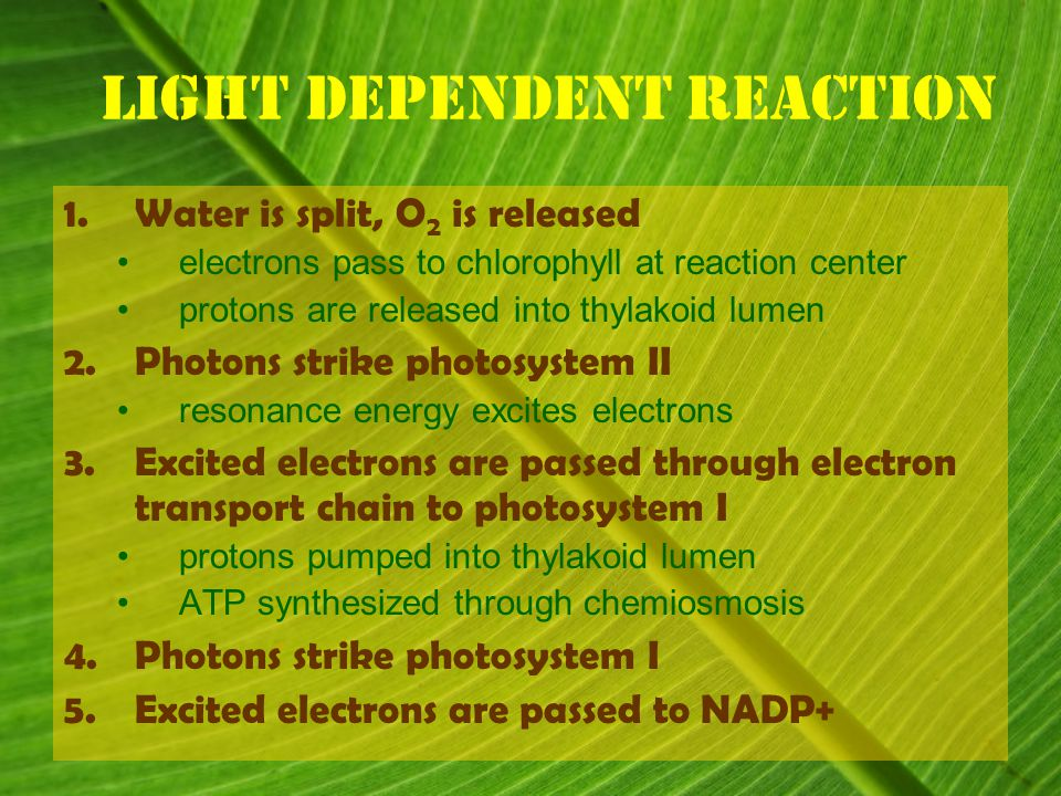 Light Dependent Reaction 1.Water is split, O 2 is released electrons pass to chlorophyll at reaction center protons are released into thylakoid lumen 2.Photons strike photosystem II resonance energy excites electrons 3.Excited electrons are passed through electron transport chain to photosystem I protons pumped into thylakoid lumen ATP synthesized through chemiosmosis 4.Photons strike photosystem I 5.Excited electrons are passed to NADP+