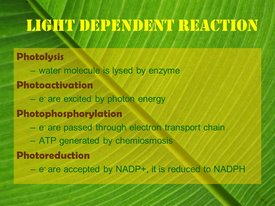 Light dependent reaction Photolysis –water molecule is lysed by enzyme Photoactivation –e - are excited by photon energy Photophosphorylation –e - are passed through electron transport chain –ATP generated by chemiosmosis Photoreduction –e - are accepted by NADP+, it is reduced to NADPH