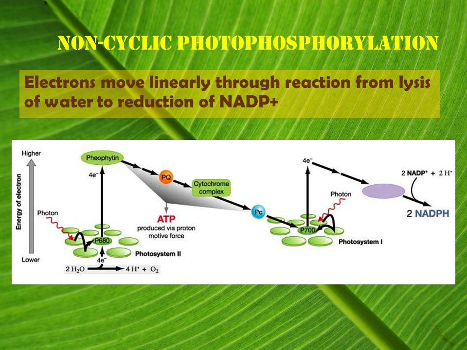 Non-cyclic Photophosphorylation Electrons move linearly through reaction from lysis of water to reduction of NADP+
