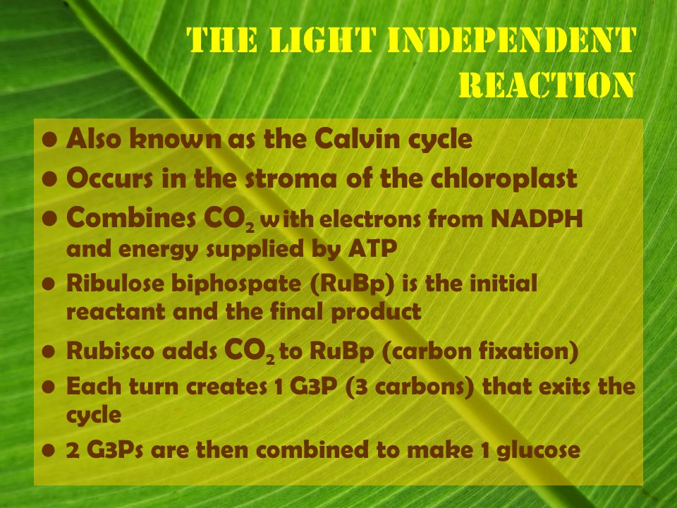 Also known as the Calvin cycle Occurs in the stroma of the chloroplast Combines CO 2 with electrons from NADPH and energy supplied by ATP Ribulose biphospate (RuBp) is the initial reactant and the final product Rubisco adds CO 2 to RuBp (carbon fixation) Each turn creates 1 G3P (3 carbons) that exits the cycle 2 G3Ps are then combined to make 1 glucose