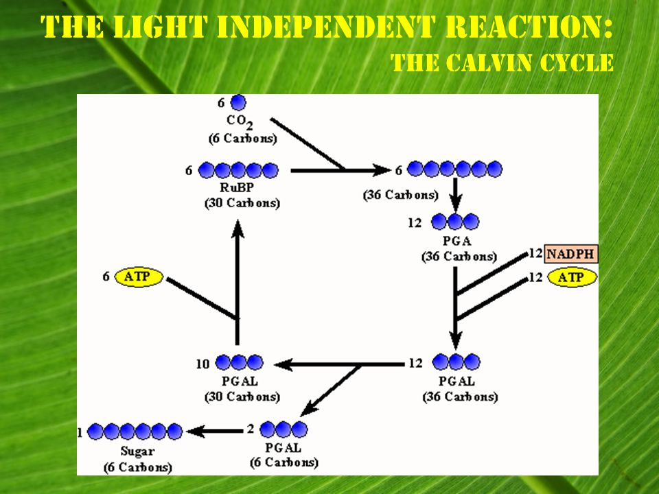 The Light Independent Reaction : The Calvin Cycle
