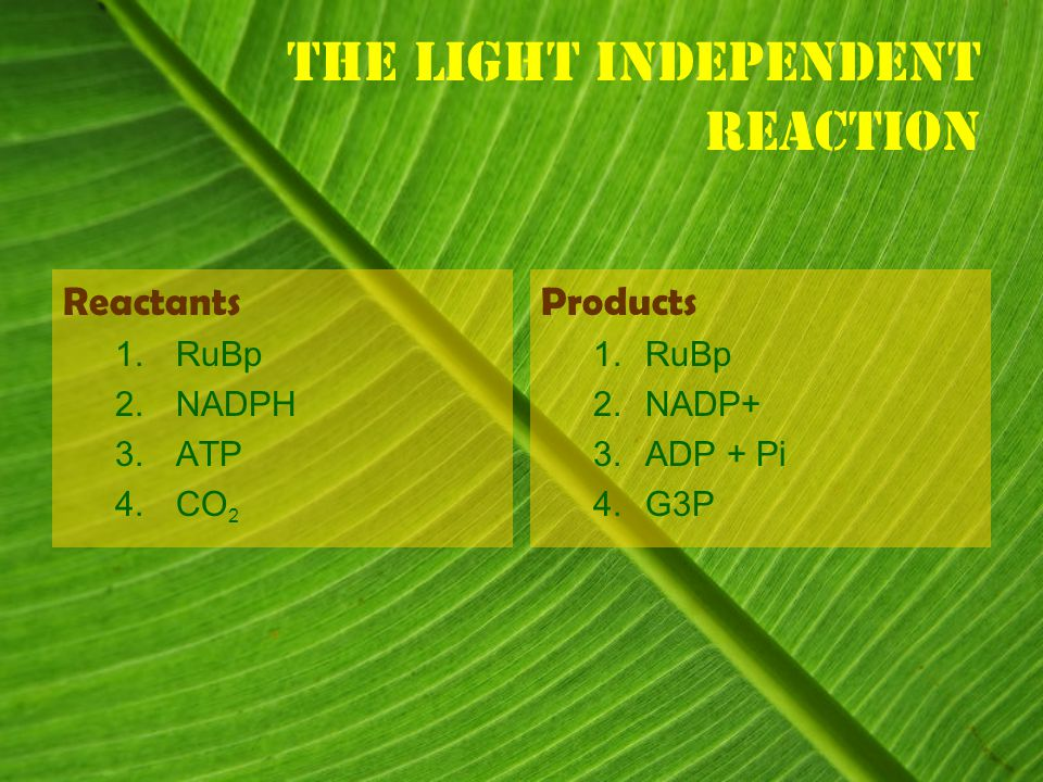 The light independent Reaction Reactants 1.RuBp 2.NADPH 3.ATP 4.CO 2 Products 1.
