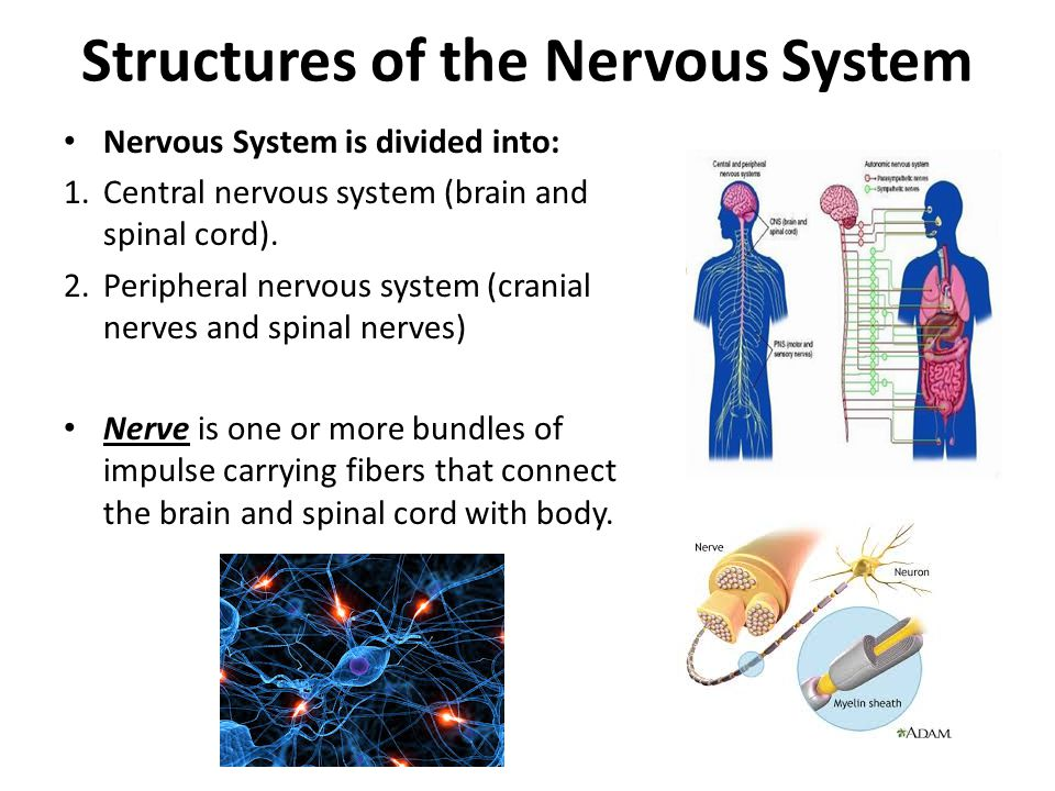 Structures of the Nervous System Nervous System is divided into: 1.Central nervous system (brain and spinal cord). 2.Peripheral nervous system (crania