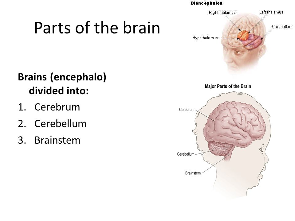 Parts of the brain Brains (encephalo) divided into: 1.Cerebrum 2.Cerebellum 3.Brainstem