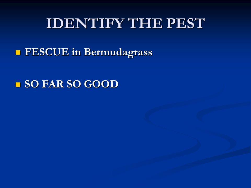 IDENTIFY THE PEST FESCUE in Bermudagrass FESCUE in Bermudagrass SO FAR SO GOOD SO FAR SO GOOD
