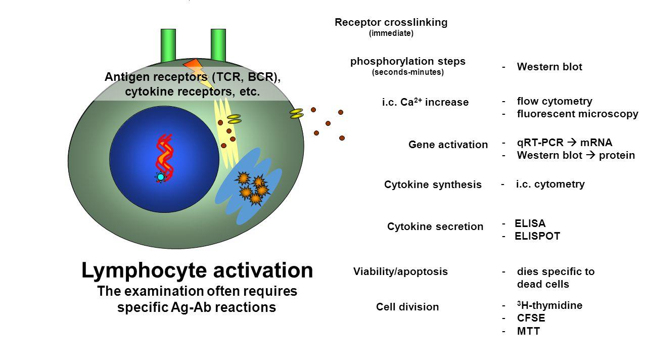 Receptor crosslinking (immediate) phosphorylation steps (seconds-minutes) -Western blot i.c.