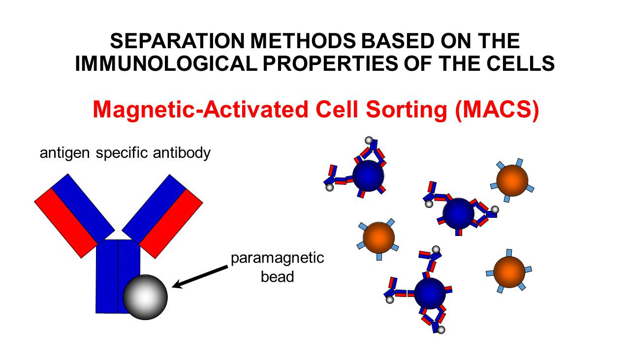 Magnetic-Activated Cell Sorting (MACS) paramagnetic bead antigen specific antibody SEPARATION METHODS BASED ON THE IMMUNOLOGICAL PROPERTIES OF THE CELLS