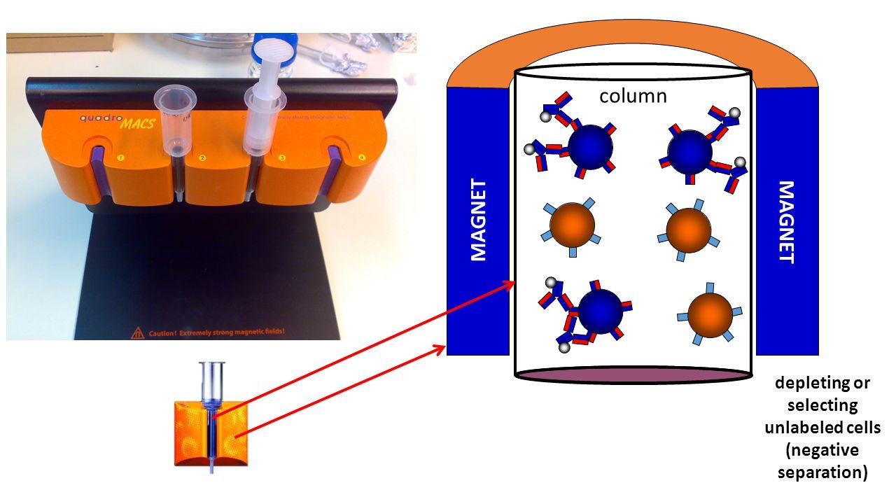 MAGNET column depleting or selecting unlabeled cells (negative separation)