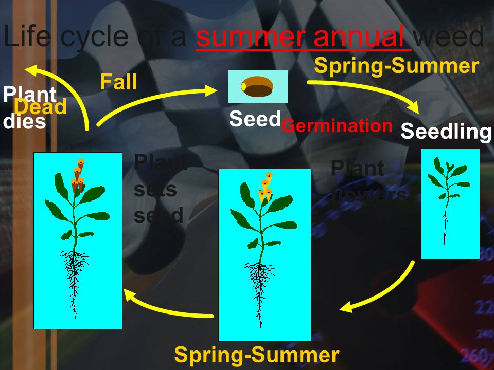 Life cycle of a summer annual weed Seed Seedling Plant flowers Plant sets seed Plant dies Spring-Summer Fall Spring-Summer Dead Germination