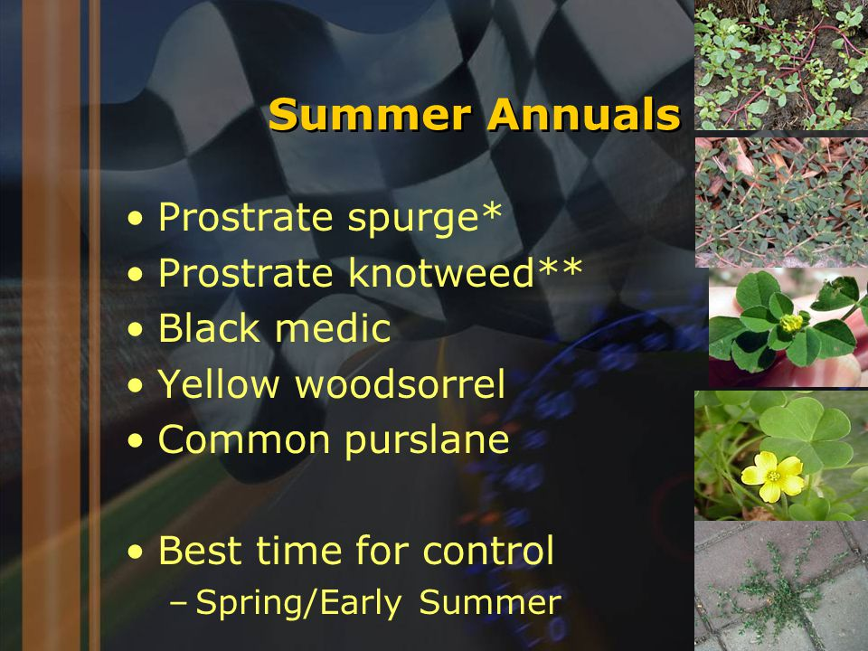 Summer Annuals Prostrate spurge* Prostrate knotweed** Black medic Yellow woodsorrel Common purslane Best time for control –Spring/Early Summer