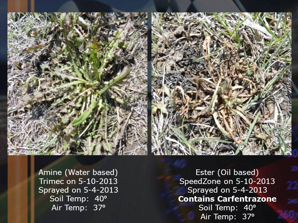 Amine (Water based) Trimec on 5-10-2013 Sprayed on 5-4-2013 Soil Temp: 40 ⁰ Air Temp: 37 ⁰ Ester (Oil based) SpeedZone on 5-10-2013 Sprayed on 5-4-2013 Contains Carfentrazone Soil Temp: 40 ⁰ Air Temp: 37 ⁰