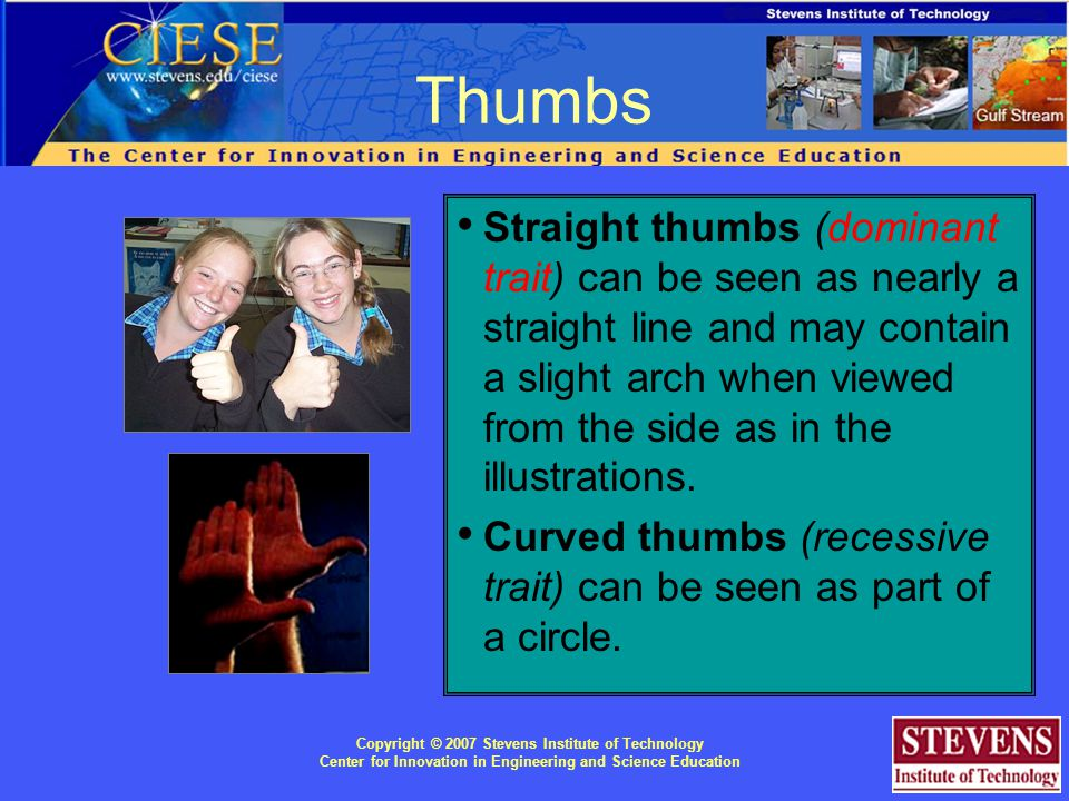 Copyright © 2007 Stevens Institute of Technology Center for Innovation in Engineering and Science Education Straight thumbs (dominant trait) can be seen as nearly a straight line and may contain a slight arch when viewed from the side as in the illustrations.