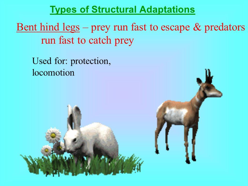 Bent hind legs – prey run fast to escape & predators run fast to catch prey Types of Structural Adaptations Used for: protection, locomotion