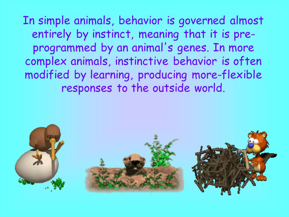 In simple animals, behavior is governed almost entirely by instinct, meaning that it is pre- programmed by an animal's genes. In more complex animals,