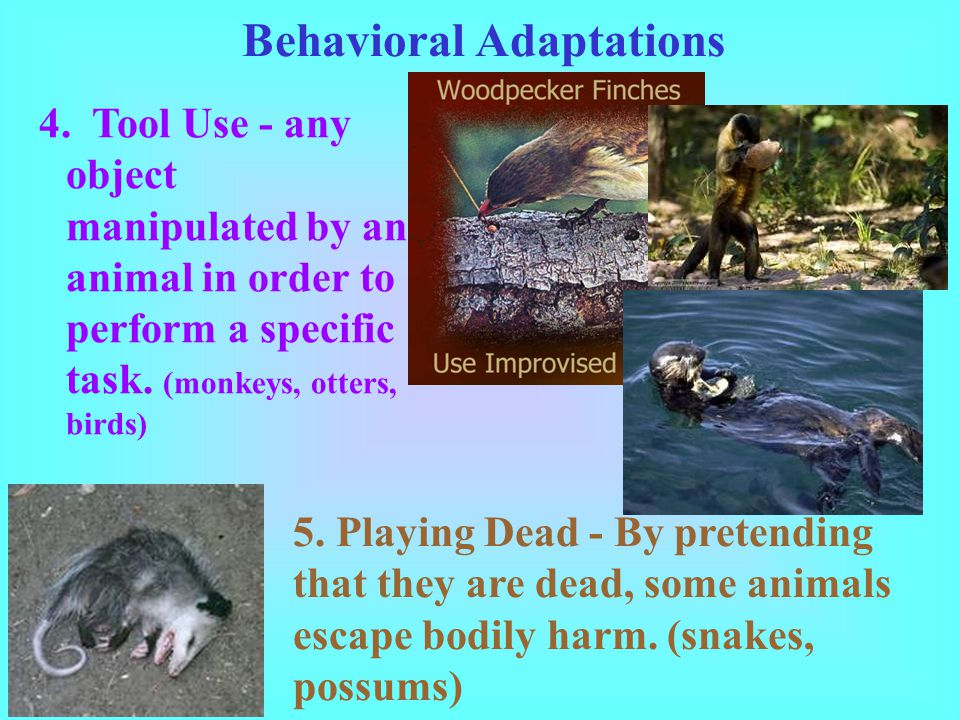 Behavioral Adaptations 4. Tool Use - any object manipulated by an animal in order to perform a specific task. (monkeys, otters, birds) 5. Playing Dead