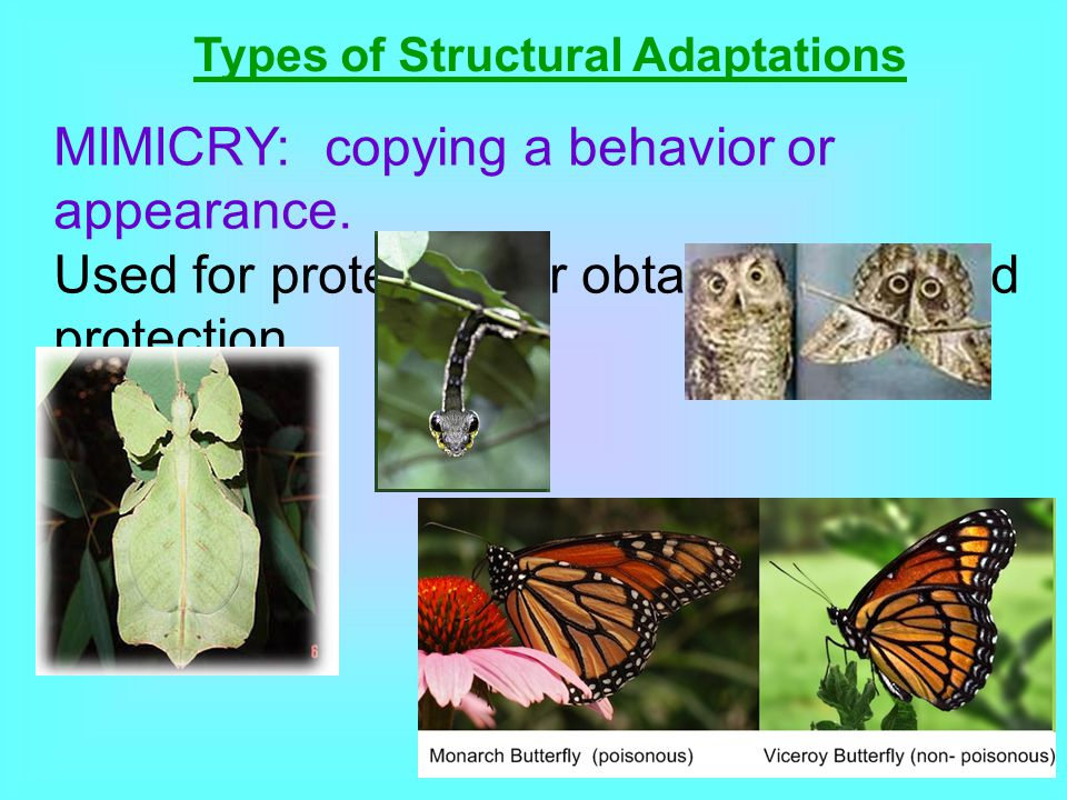 Types of Structural Adaptations MIMICRY: copying a behavior or appearance. Used for protection or obtaining food and protection.