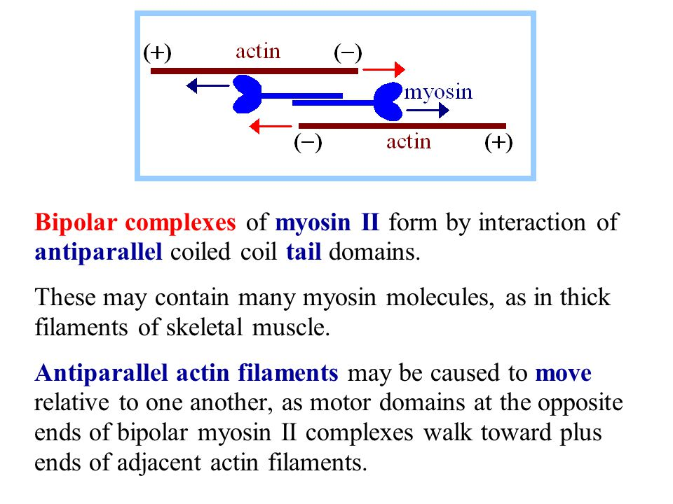 Bipolar complexes of myosin II form by interaction of antiparallel coiled coil tail domains. These may contain many myosin molecules, as in thick fila