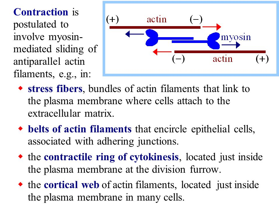  stress fibers, bundles of actin filaments that link to the plasma membrane where cells attach to the extracellular matrix.  belts of actin filament