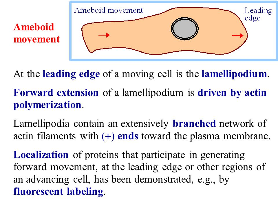 At the leading edge of a moving cell is the lamellipodium. Forward extension of a lamellipodium is driven by actin polymerization. Lamellipodia contai