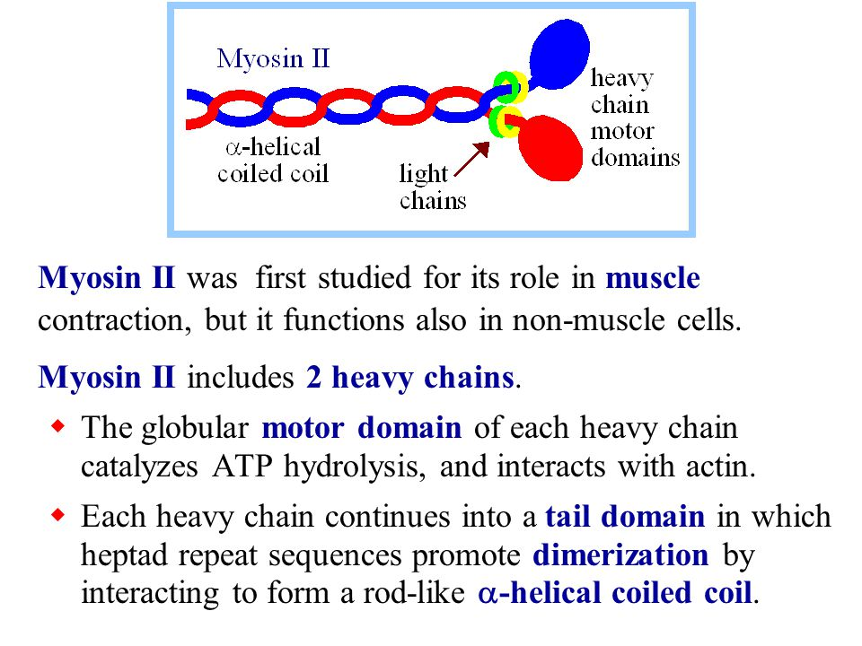 Myosin II was first studied for its role in muscle contraction, but it functions also in non-muscle cells. Myosin II includes 2 heavy chains.  The gl