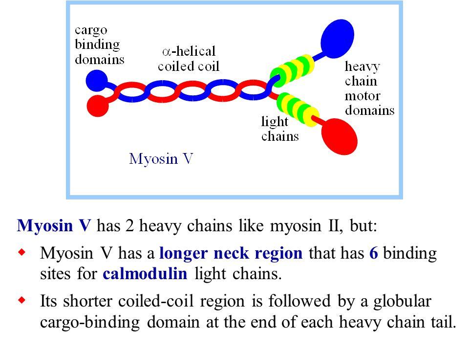 Myosin V has 2 heavy chains like myosin II, but:  Myosin V has a longer neck region that has 6 binding sites for calmodulin light chains.  Its short
