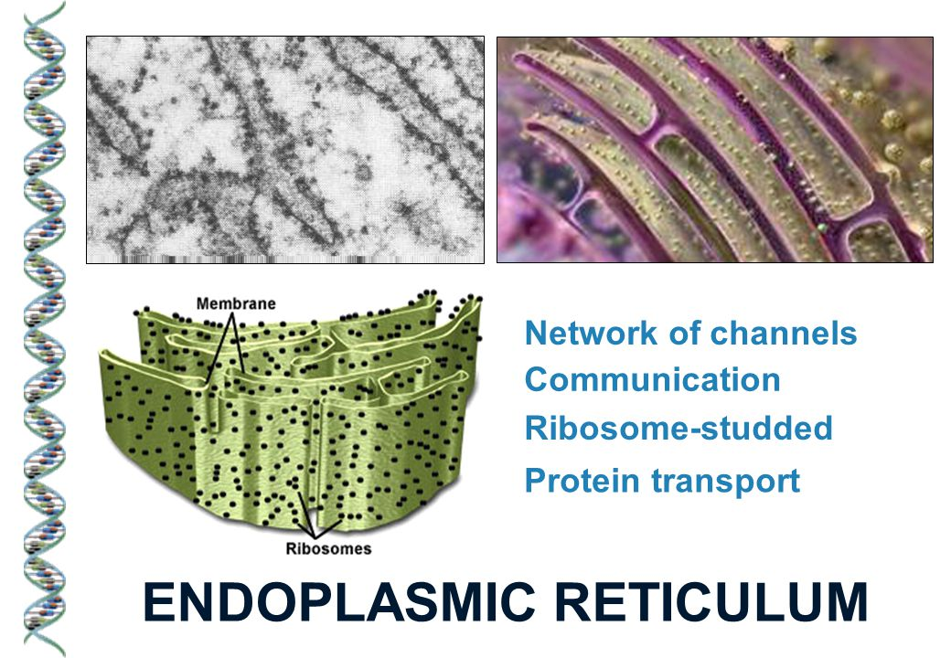 ENDOPLASMIC RETICULUM Network of channels Communication Ribosome-studded Protein transport