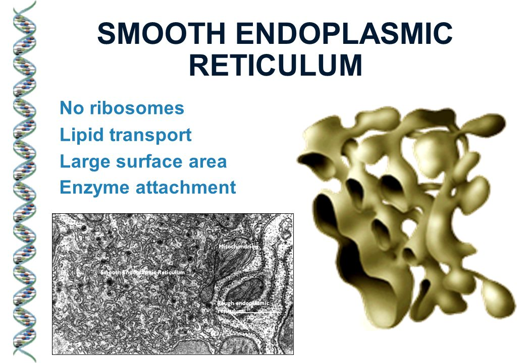 SMOOTH ENDOPLASMIC RETICULUM No ribosomes Lipid transport Large surface area Enzyme attachment