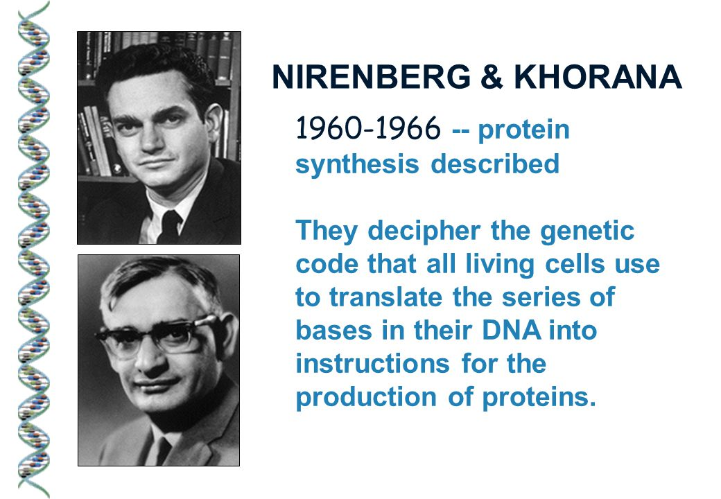 1960-1966 -- protein synthesis described They decipher the genetic code that all living cells use to translate the series of bases in their DNA into instructions for the production of proteins.