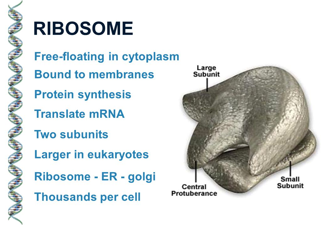 RIBOSOME Free-floating in cytoplasm Bound to membranes Protein synthesis Translate mRNA Two subunits Larger in eukaryotes Ribosome - ER - golgi Thousands per cell