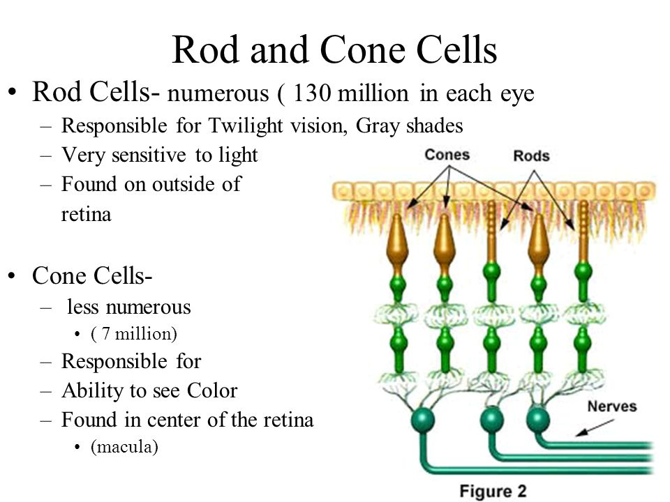 Rod and Cone Cells Rod Cells- numerous ( 130 million in each eye –Responsible for Twilight vision, Gray shades –Very sensitive to light –Found on outs