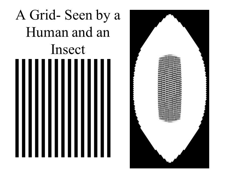 A Grid- Seen by a Human and an Insect