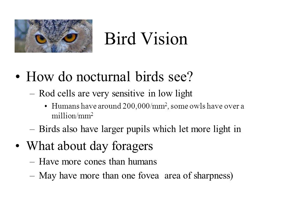 Bird Vision How do nocturnal birds see? –Rod cells are very sensitive in low light Humans have around 200,000/mm 2, some owls have over a million/mm 2