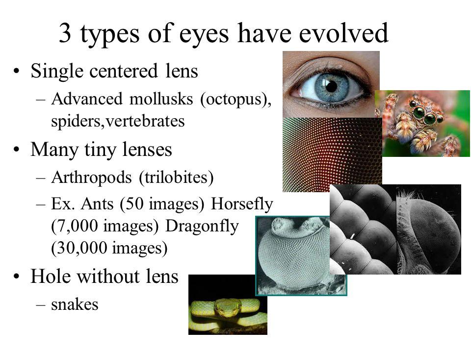 3 types of eyes have evolved Single centered lens –Advanced mollusks (octopus), spiders,vertebrates Many tiny lenses –Arthropods (trilobites) –Ex. Ant