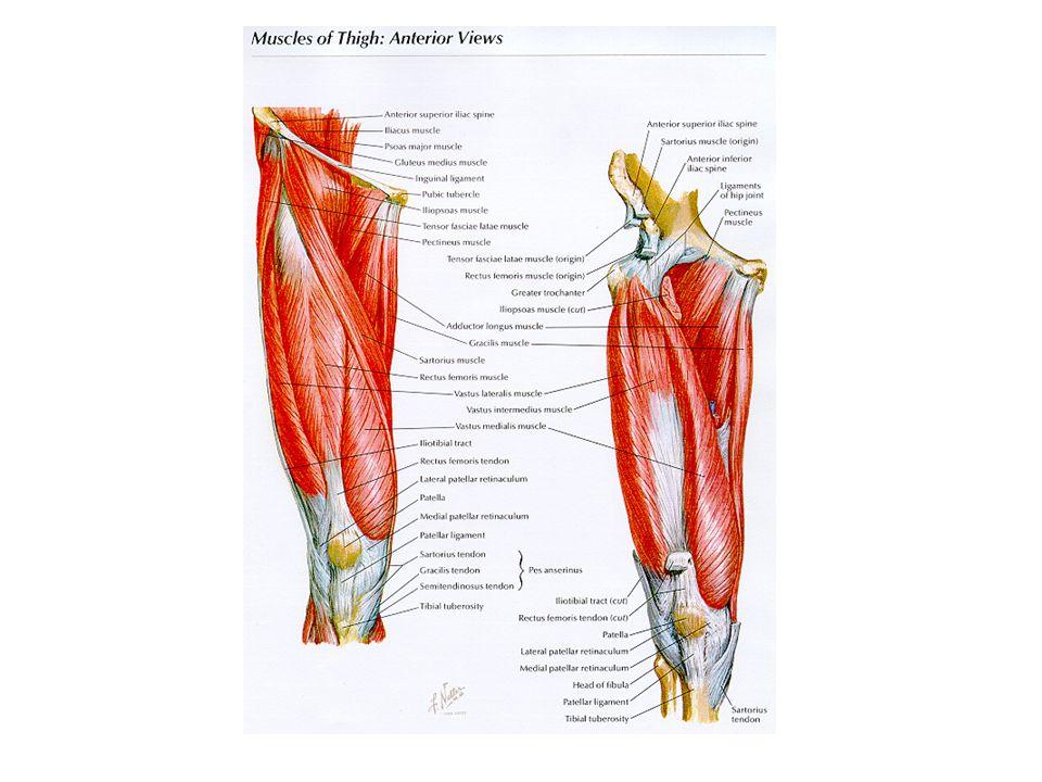 Fantastic Medial Patellofemoral Ligament Anatomy Embellishment