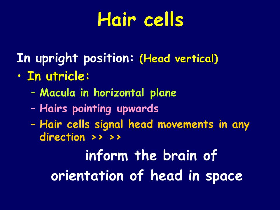 Hair cells In upright position: (Head vertical) In utricle: –Macula in horizontal plane –Hairs pointing upwards –Hair cells signal head movements in a