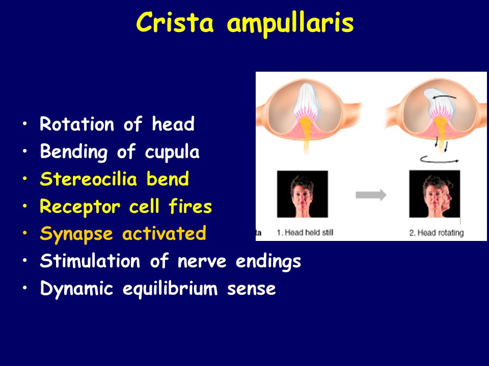 Crista ampullaris Rotation of head Bending of cupula Stereocilia bend Receptor cell fires Synapse activated Stimulation of nerve endings Dynamic equil