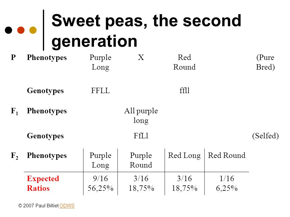 Sweet peas, the second generation PPhenotypesPurple Long XRed Round (Pure Bred) GenotypesFFLLffll F1F1 PhenotypesAll purple long GenotypesFfLl(Selfed) F2F2 PhenotypesPurple Long Purple Round Red LongRed Round Expected Ratios 9/16 56,25% 3/16 18,75% 3/16 18,75% 1/16 6,25% © 2007 Paul Billiet ODWSODWS
