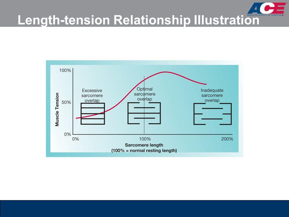 Length-tension Relationship Illustration